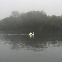 Swan, Toronto Islands